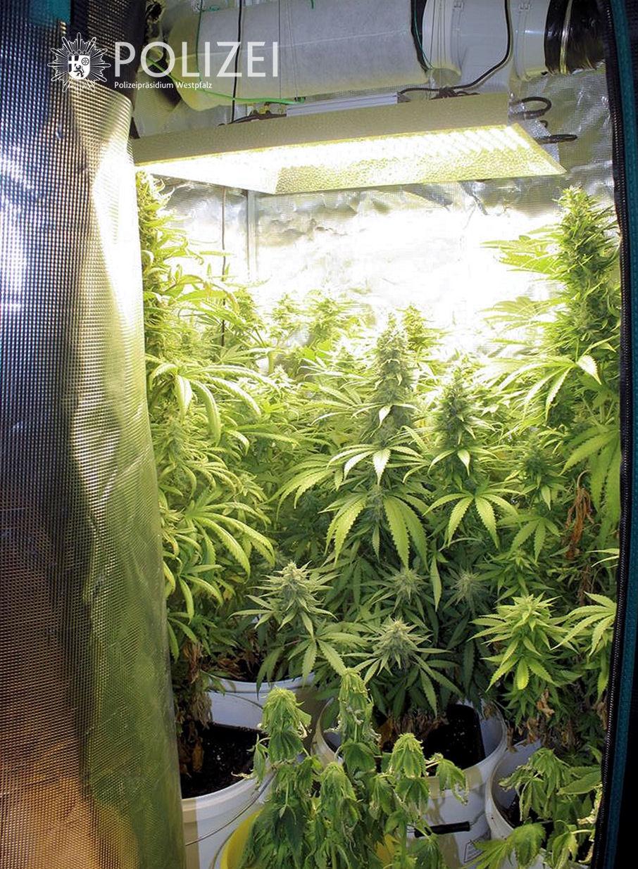 Illegal Cannabis angebaut