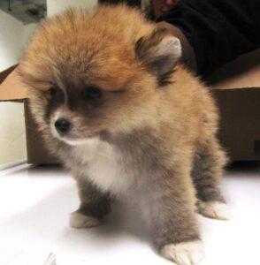 Veterinäramt warnt vor Kauf von Pomeranian Spitz Welpen