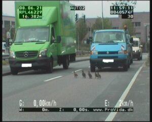 Entenfamilie legt Verkehr lahm